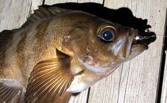『メバリング』ステップアップ解説:3種のメバルは釣り分け可能?