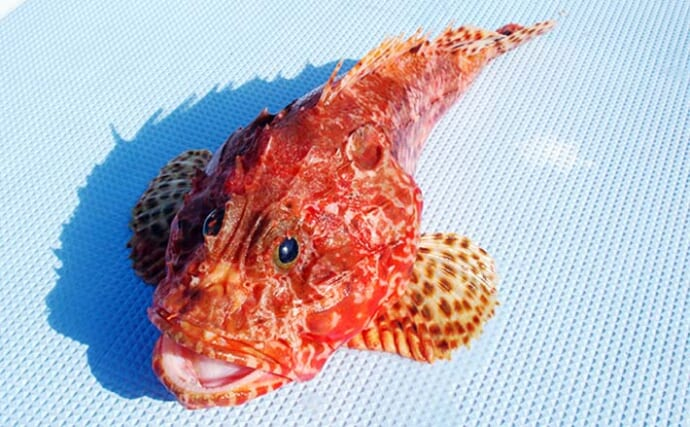 【関東2021】オニカサゴ釣りのキホン タックル・釣り方・毒棘の処理