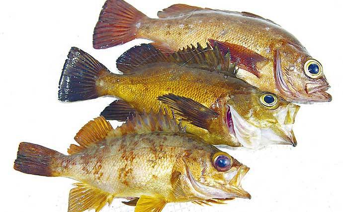 東京湾&相模湾「春メバル」が最盛期へ モエビ&イワシのエサ釣り基本