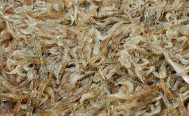 身近な川エビ『スジエビ」の旬は2・3月 郷土料理の「えび豆」とは?