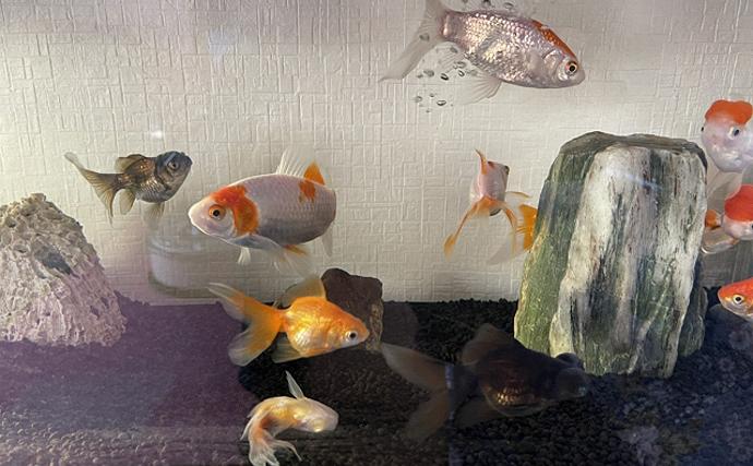 3月3日は『金魚の日』 ひな人形と一緒に飾るのが一般的だった?