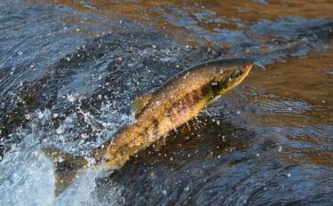 人間に有益な栄養素「DHA」は魚にも効果あり? 生存力アップに期待