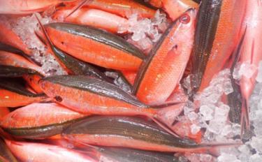 日本で最初に制定された県魚は「グルクン」 実はかまぼこの原材料にも