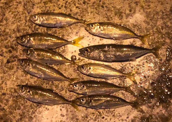『アジング』ステップアップ解説:シビアな厳寒期に釣果をあげる方法