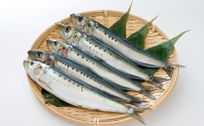 静岡で脂の乗ったマイワシが豊漁 イワシは一年中「旬」ってホント?