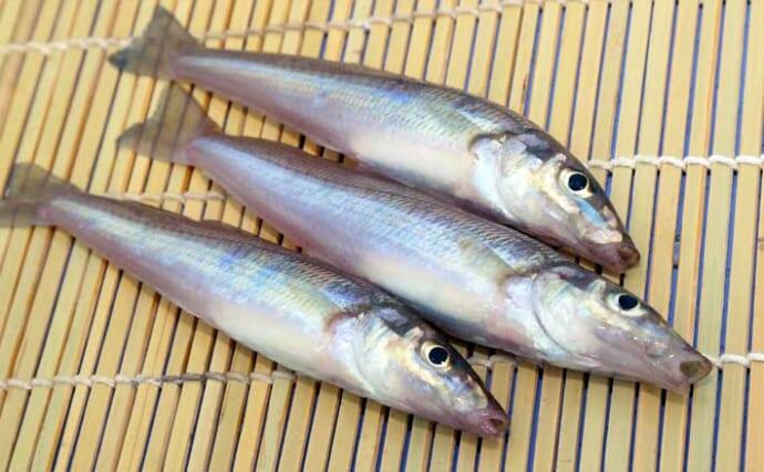 【東京湾2021】船シロギス釣り初心者入門 初めての船釣りにも好適