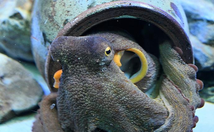 イカに「自制心」があることが判明 頭足類はどれくらい頭が良いのか