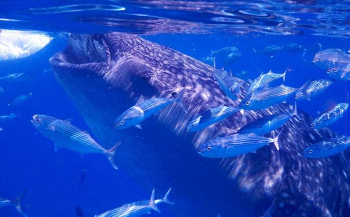 小さい「プランクトン」を食べる生物は巨大化しがち そのワケとは?
