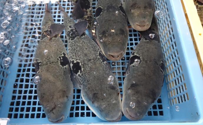 旅館で余った「温泉」使って高級魚トラフグ養殖 成功の秘訣は浸透圧?
