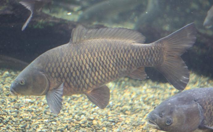 嫌われがちの『ニゴイ』は実は美味 過去にはヒラメの代替魚だった?