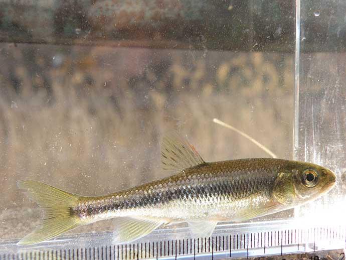 近所の川で小型淡水魚と遊ぼう:「釣り上げた後」の楽しみ方と注意点