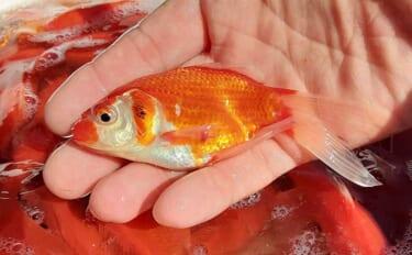 室内釣掘で『金魚』爆釣を楽しむ 自作仕掛けで77尾【東京・保谷FC】