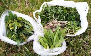 土手や畦道での山菜採りのススメ 早春の小物釣りとセットで楽しもう