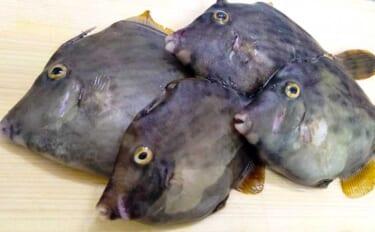 サーフで釣れる『鳴く』サカナ4種 聞こえ方は人それぞれ?【静岡】