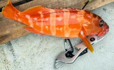 「貸しボート」で狙うアカハタ釣りのススメ 事前の海図チェックが重要