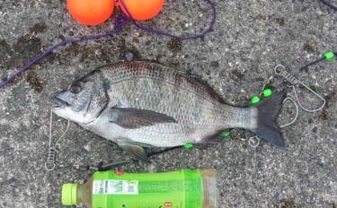 沖波止エビまき釣りで37cmチヌ 「まきエ」ワークがキモ【神戸・6防】