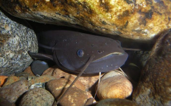 琵琶湖の『淡水真珠』養殖業を「ナマズ」が救う可能性 寄生魚として期待