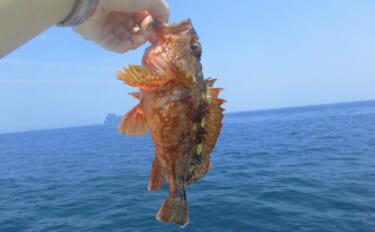 全国各地で稚魚放流が行われている「カサゴ」 理由は再漁獲の効率性?