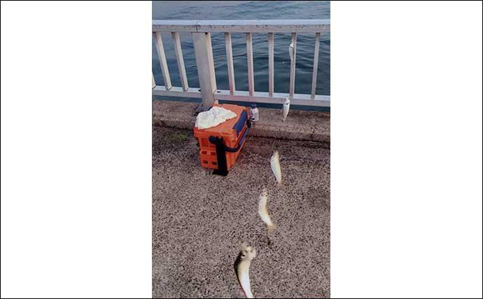 サビキ釣りで『サッパ』絶好調 クーラー満タン【愛知・碧南海釣り広場】