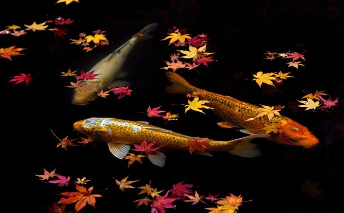 「錦鯉」と一般的な「コイ」は遺伝子的に同種 こいのぼりのモデルにも?