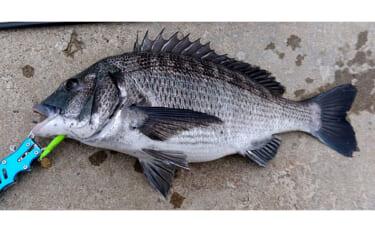 浜名湖の養殖カキが不漁 釣りの好敵手クロダイ増加が一因の可能性も?