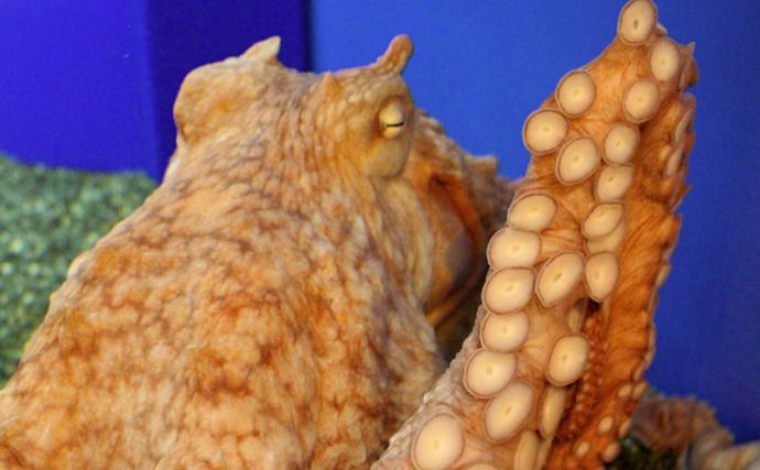 間違われがちなタコの「頭」は実は「お腹」 海底移動見れば一目瞭然?