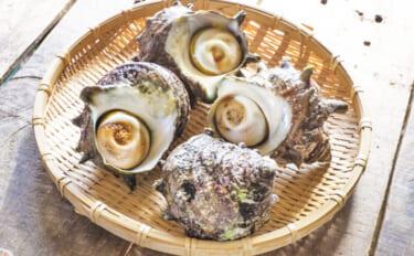 サザエの旬は春 殻から飛び出る「ツノ」の有無は食味に影響する?