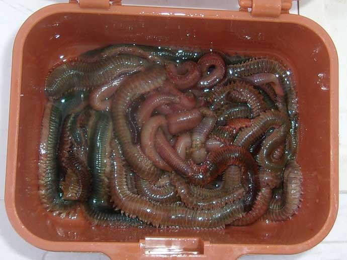波止釣り『エサ図鑑』:マムシ&アオコガネ 高価だが効果絶大の虫エサ