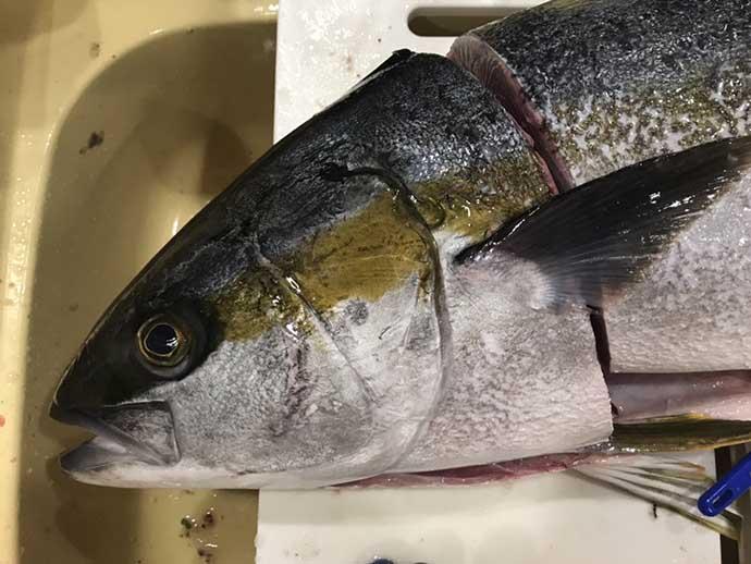 釣り人的特権レシピ:ヒラマサの豪快カブト焼き 解体は体力勝負でも絶品