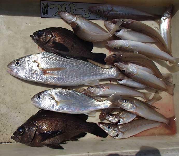 プロが教える「旬魚」の見分け方:キス 輸入品はシロギスではない?