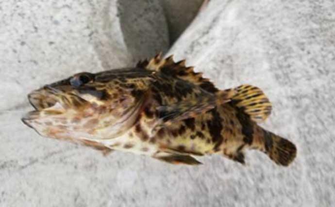 タケノコの時期が美味な「タケノコメバル」の話 釣り人には高知名度?