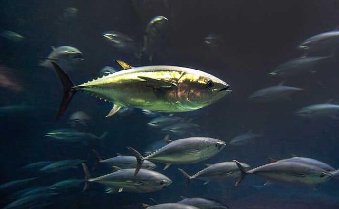 6月1日から遊漁での30kg未満「クロマグロ」採捕が禁止に 水産庁に取材