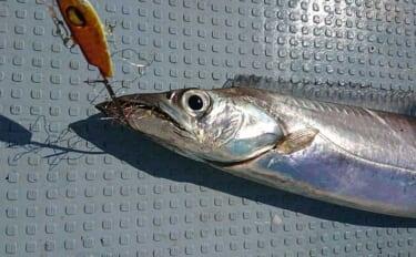 春の博多湾『ライトテンヤタチウオ 』釣りが面白い 女性にもオススメ