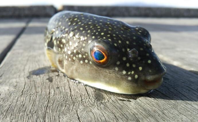フグが「目をつぶる」メカニズムが判明 「まぶたを持つ魚」はいる?