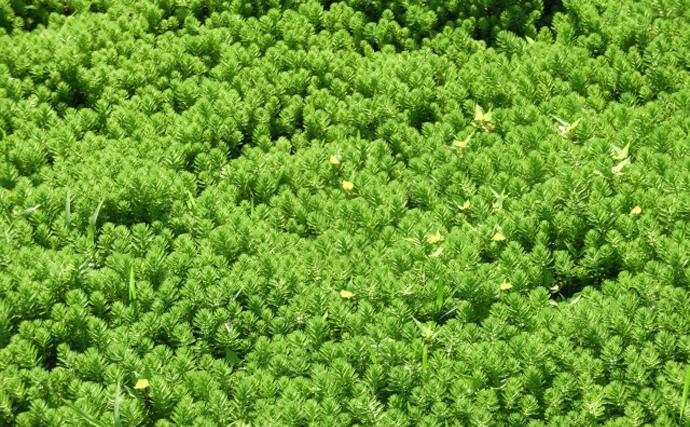 危険な「水草」が日本各地で猛威を振るう 「特定外来生物」指定種も
