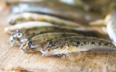 とても身近な魚『ハゼ』の保護活動が行われるワケ 気づけば高級魚に?