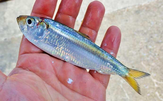 サビキ釣りで『サッパ』好釣 釣果は酢漬けで満喫【三重・四日市港】