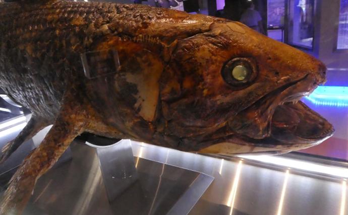 インド洋で生きた化石「シーラカンス」が漁獲 食べたら美味しいの?