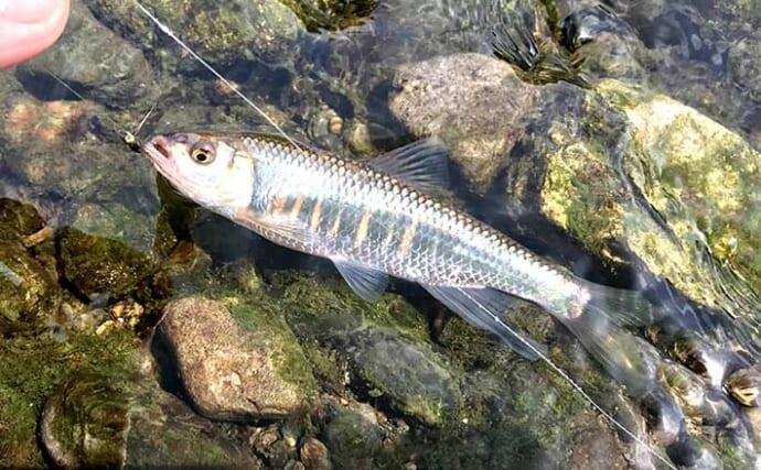清流はオイカワ釣り日和 二本毛バリ『テンカラ』で好釣【埼玉・入間川】
