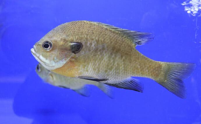ブルーギル駆除作戦が話題 釣って食べて駆除したい「美味しい外来魚」