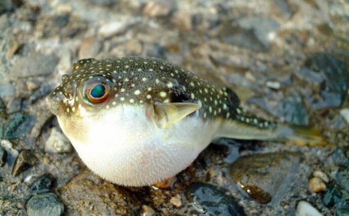 最も身近なフグ『クサフグ』の産卵がピーク 小さい身体に猛毒あり?