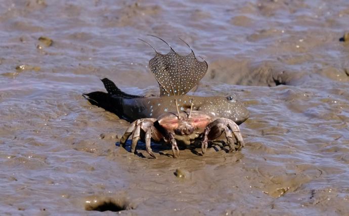 有明海のムツゴロウが繁殖期に オスは「求愛ジャンプ」でアピール?