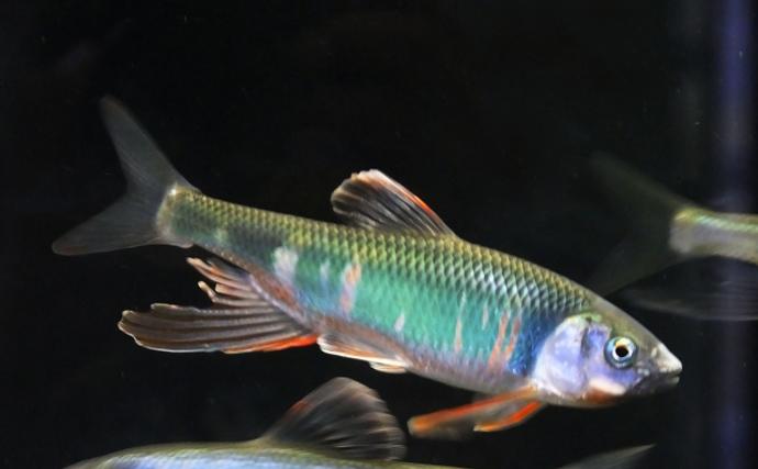 魚たちのちょっと変わった「雑種」ネーミング カワサバは何と何が交配?