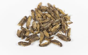 高栄養価でブームの「昆虫食」と甲殻類アレルギーの知られざる関係