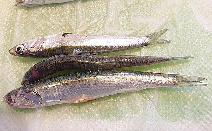 広島湾の「小イワシ」漁が解禁 漁場目の前だから鮮度抜群のまま水揚げ
