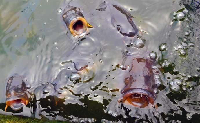 釣り掘でコイの剛力を堪能 51尾と数釣りも達成【東京・弁天FC】