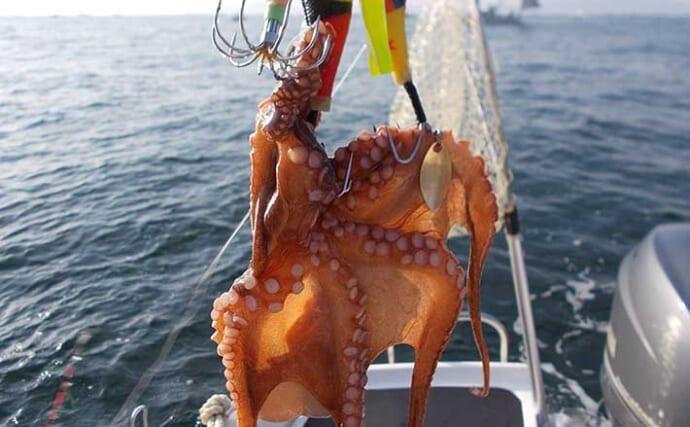 明石のエギタコ釣りで400g級を好釣 「潮の動き」読めば釣果アップ?