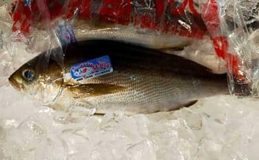 プロが教える「旬魚」の見分け方:イサキは産卵後も味が落ちない?