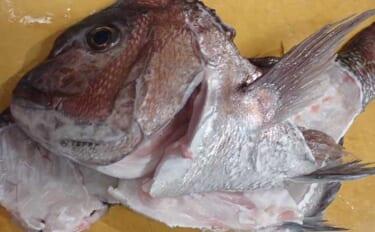 魚の『アラ&内臓』の魅力 食品ロスや夏場の生ゴミ問題の解消にも?
