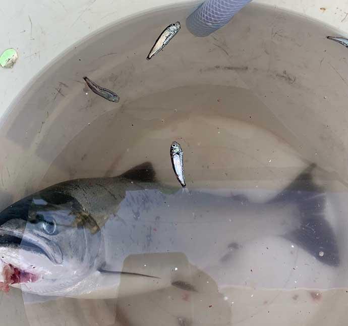 『サクラマスジギング』ステップアップ解説:ベイト種類と釣り方の関係